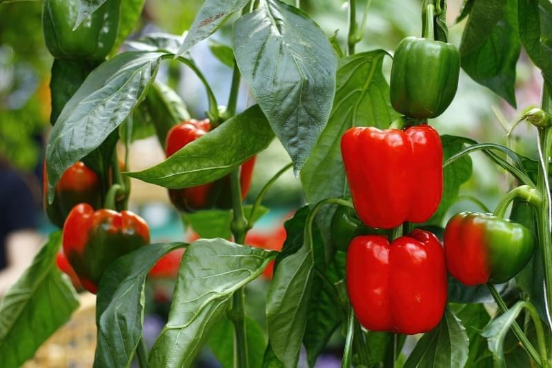 Червоний, жовтий і зелений: який болгарський перець корисніший? 1