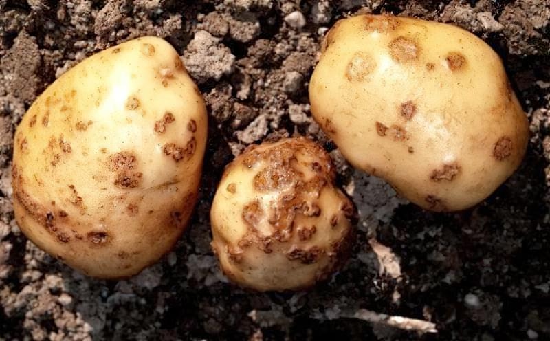 Хвороби картоплі і боротьба з ними в домашніх умовах 3