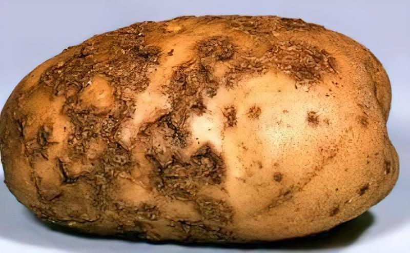 Хвороби картоплі і боротьба з ними в домашніх умовах 5