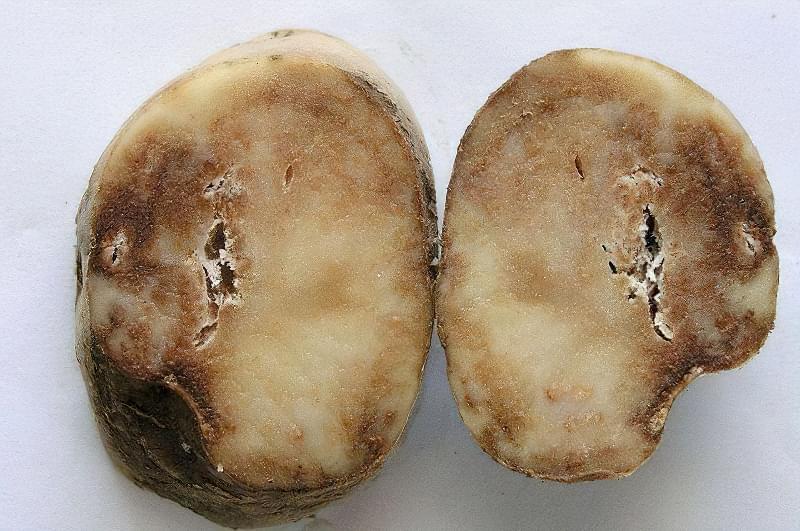 Хвороби картоплі і боротьба з ними в домашніх умовах 1
