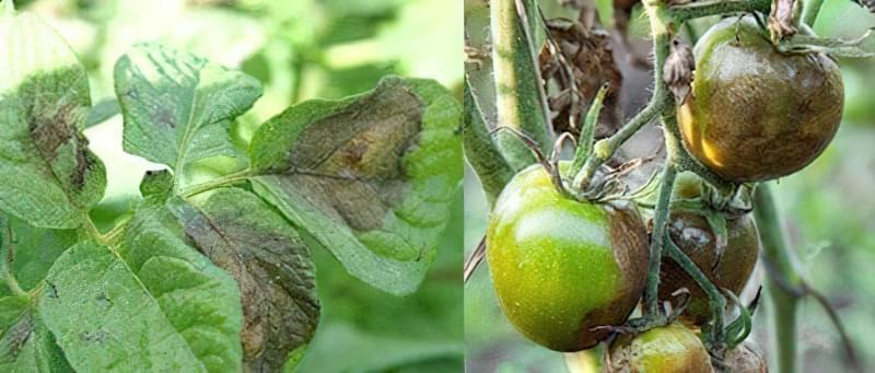 Плями на листках томатів: що робити, чим обробити, як запобігти 2