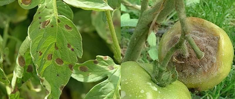 Плями на листках томатів: що робити, чим обробити, як запобігти 3