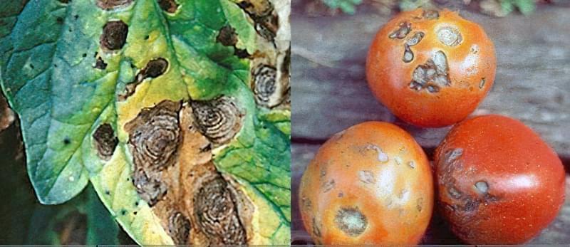 Плями на листках томатів: що робити, чим обробити, як запобігти 5