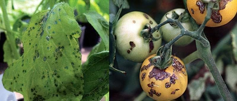 Плями на листках томатів: що робити, чим обробити, як запобігти 8