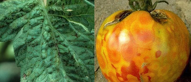 Плями на листках томатів: що робити, чим обробити, як запобігти 9