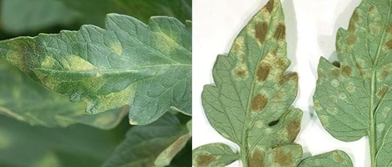 Плями на листках томатів: що робити, чим обробити, як запобігти 15