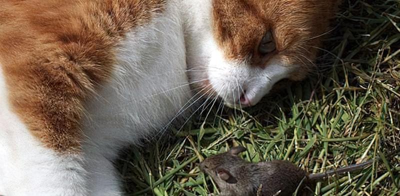 Боротися з мишами в городі допоможе кішка