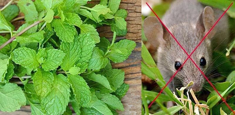 Рослини проти гризунів