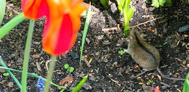 Як позбутися відмишей і щурів в городі раз і назавжди 31