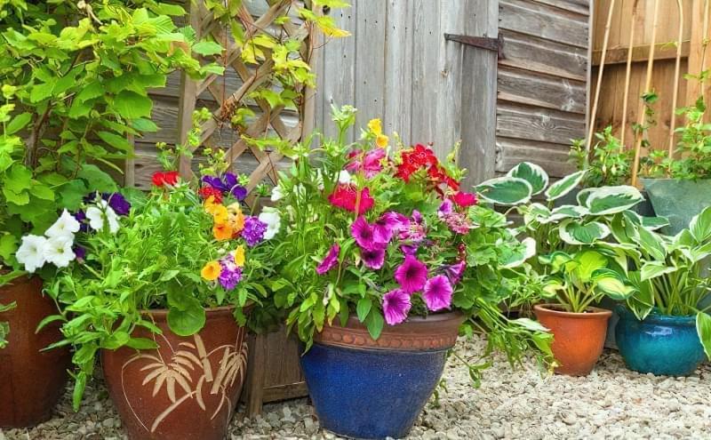 Як виростити петунію з насіння в домашніх умовах 1