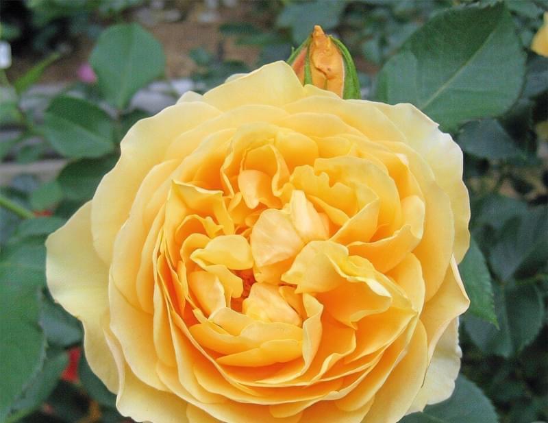 Англійські троянди Девіда Остіна 2