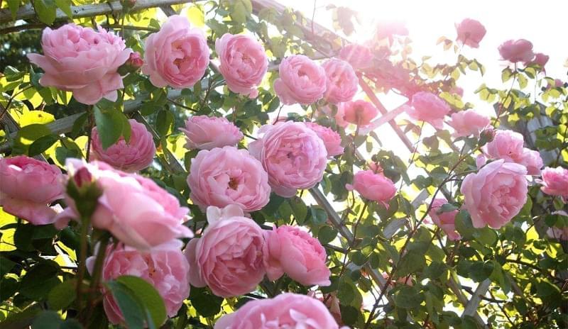 Англійські троянди Девіда Остіна 3