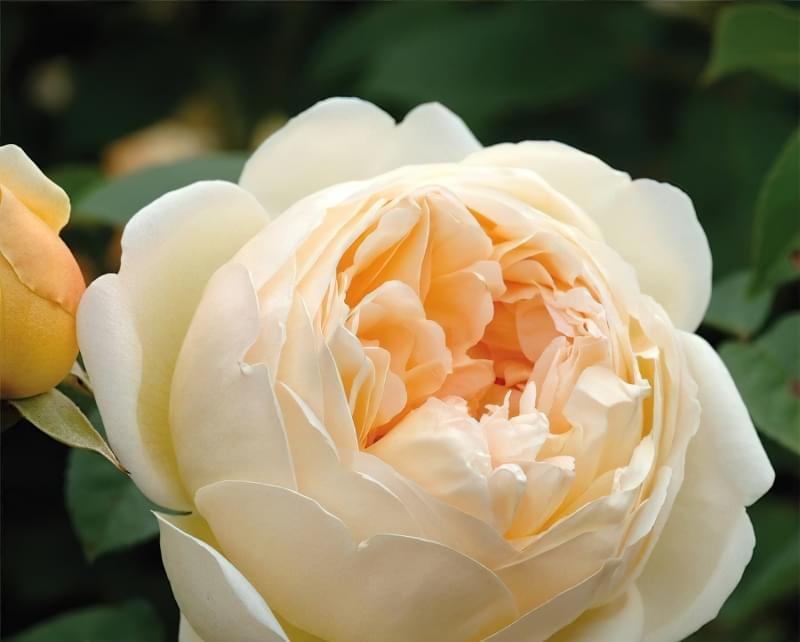 Англійські троянди Девіда Остіна 4