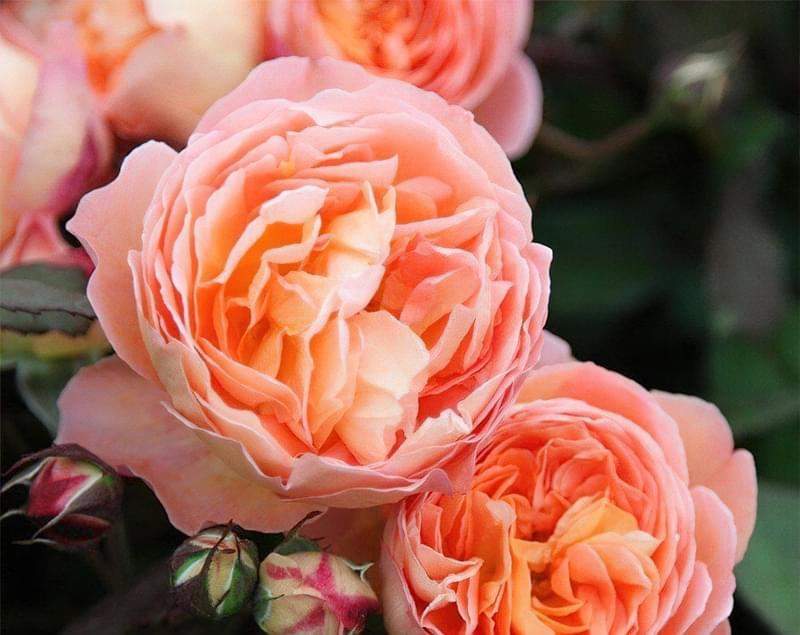 Англійські троянди Девіда Остіна 5