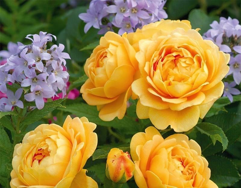 Англійські троянди Девіда Остіна 6
