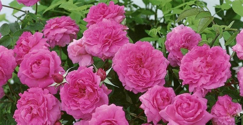 Англійські троянди Девіда Остіна 7