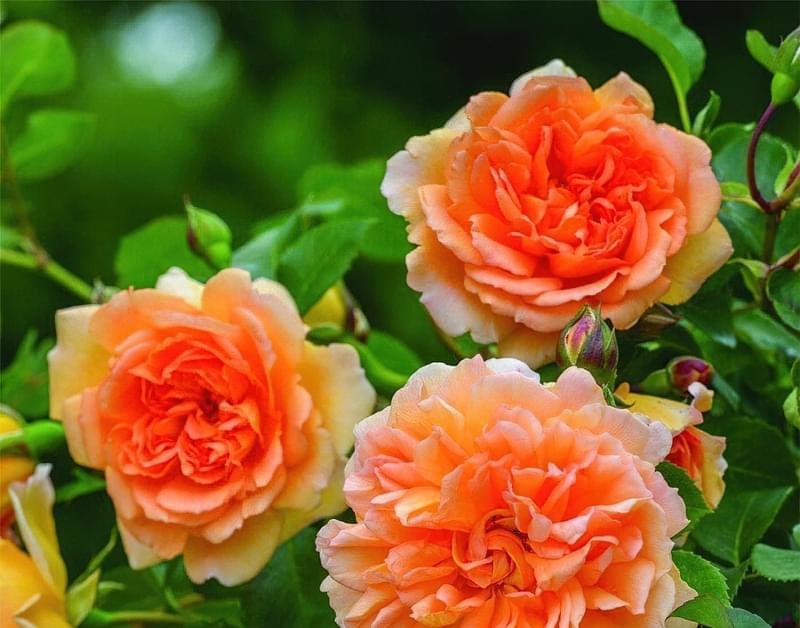 Англійські троянди Девіда Остіна 8