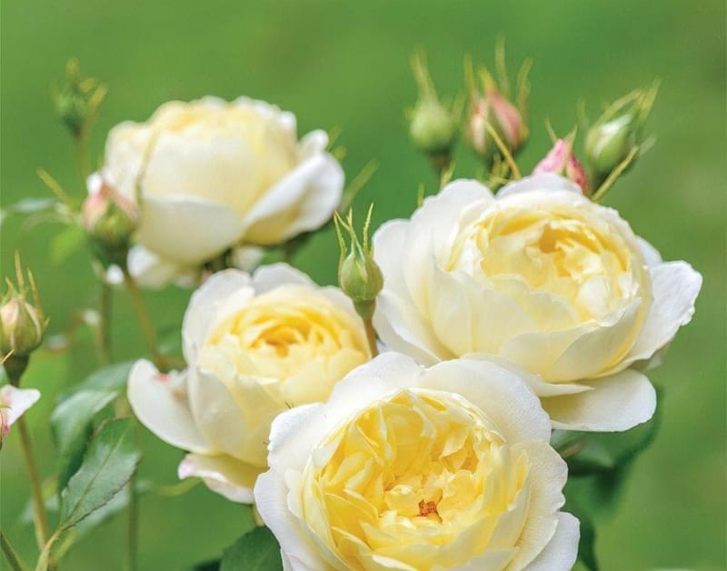Англійські троянди Девіда Остіна 9