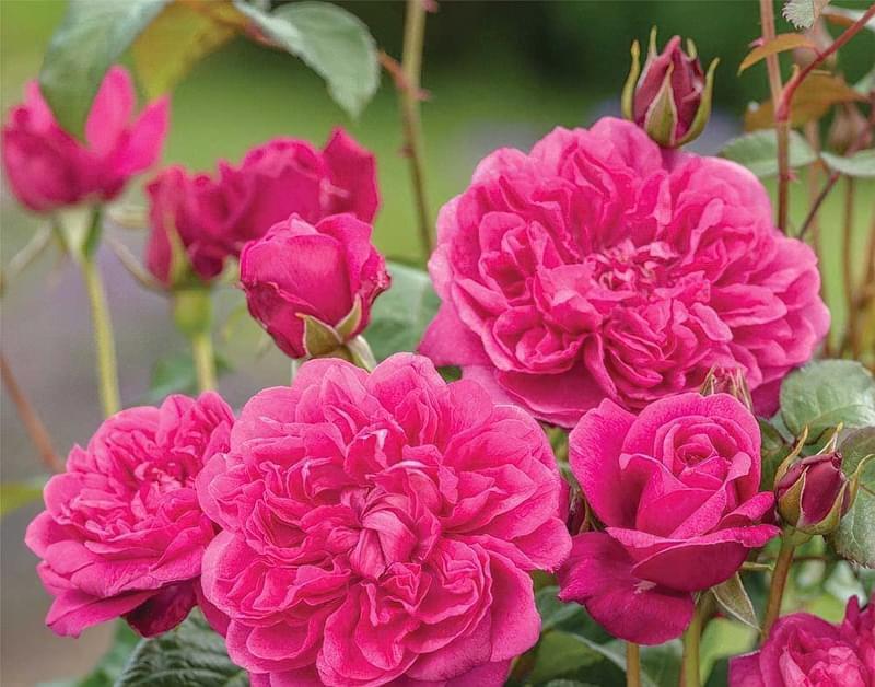 Англійські троянди Девіда Остіна 10
