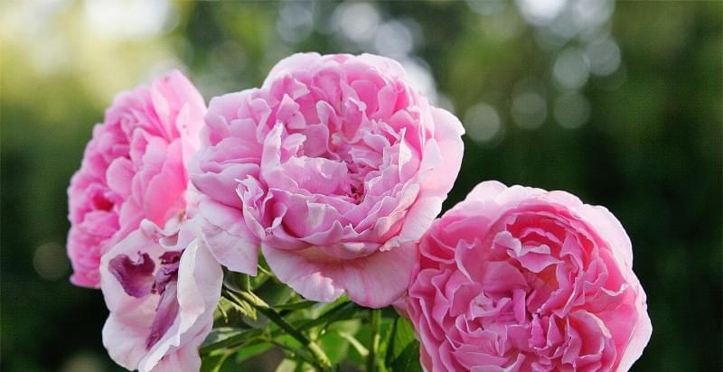 Англійські троянди Девіда Остіна 1