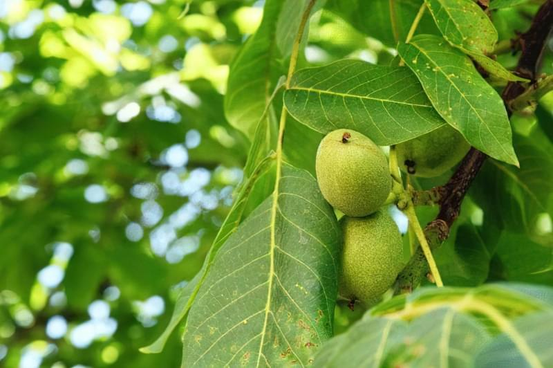 Підживлення з листя волоського горіха 2