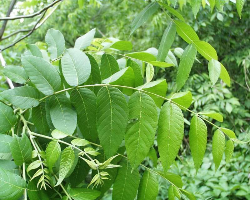 Підживлення з листя волоського горіха 1