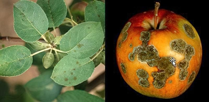 Парша яблуні: заходи боротьби і профілактики 2