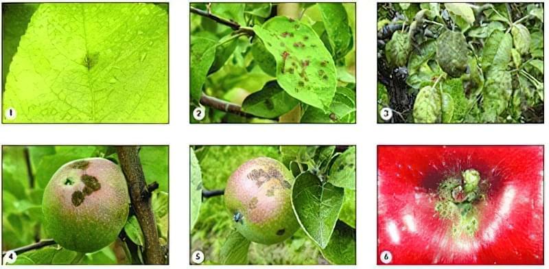 Як проявляється парша яблуні