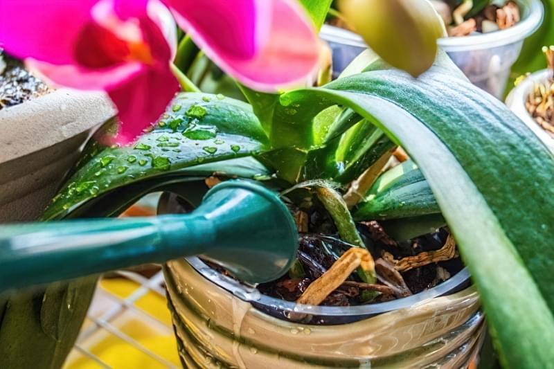 Орхідея: догляд в домашніх умовах після покупки 6