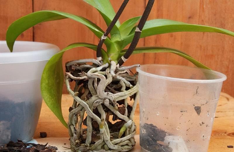 Орхідея: догляд в домашніх умовах після покупки 8