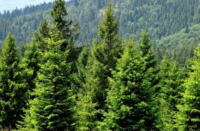 Ялиновий ліс