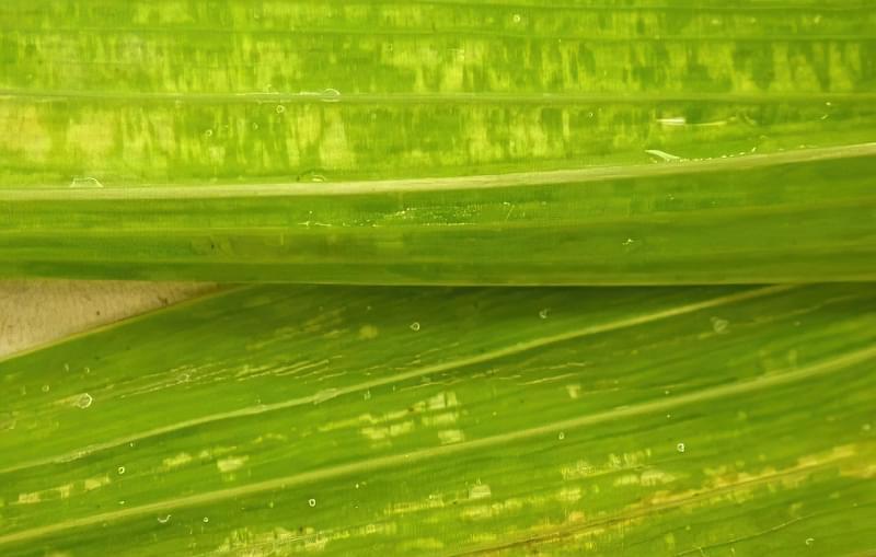 Мозаїка на листках гладіолуса
