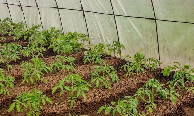 Чому помідори не червоніють в теплиці 3