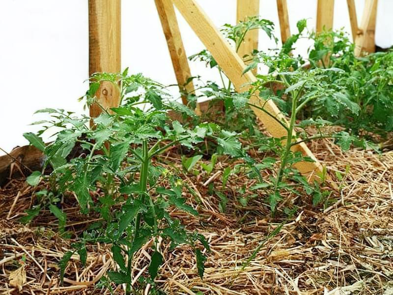 Чому помідори не червоніють в теплиці 4