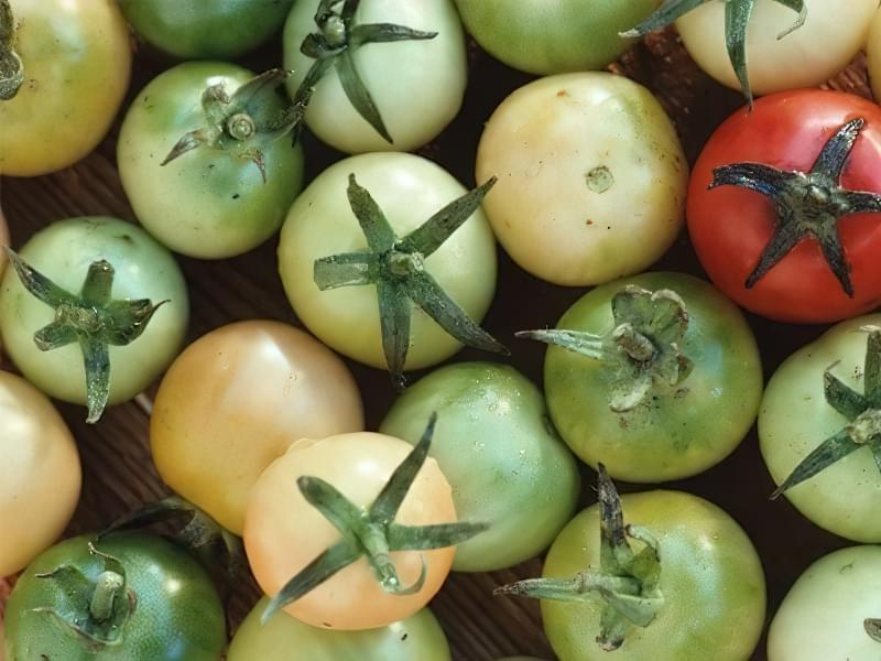 Чому помідори не червоніють в теплиці 6