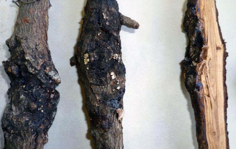 Стовбуровий рак на модрині