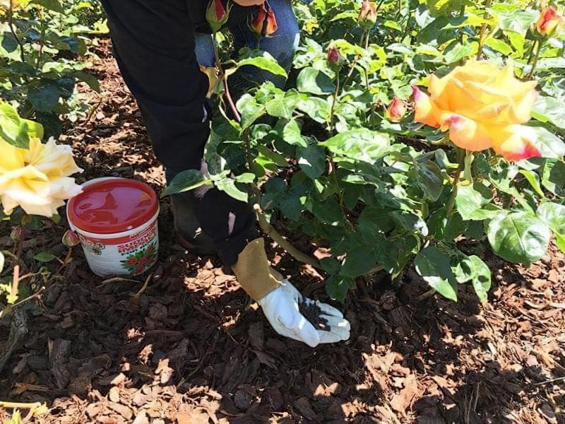 Чим підгодувати троянди восени перед укриттям на зиму 1