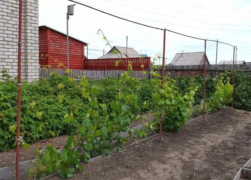 Шпалери для винограду: різновиди та особливості 2