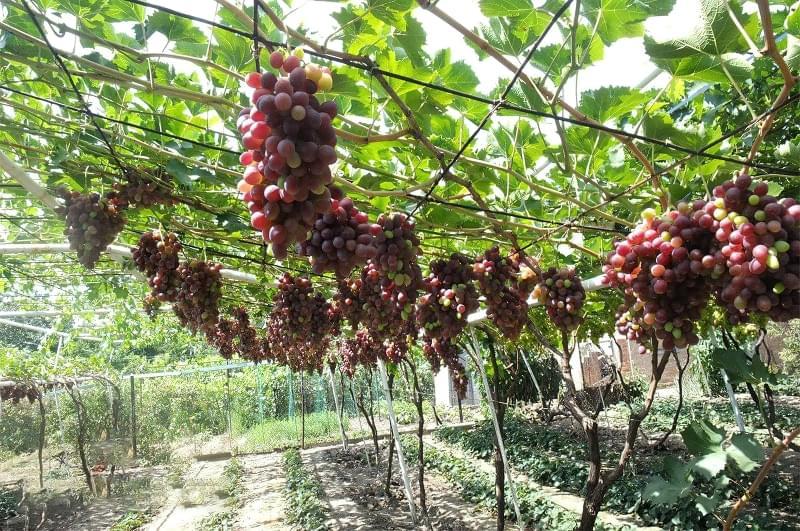 Шпалери для винограду: різновиди та особливості 6