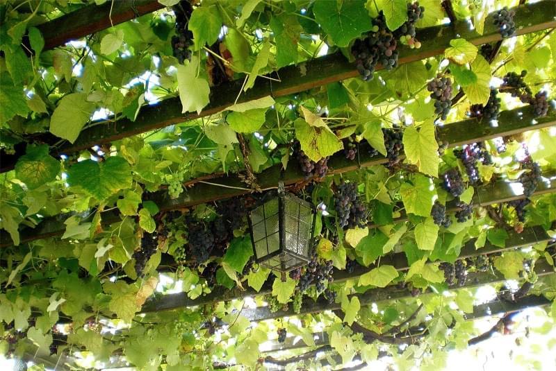 Шпалери для винограду: різновиди та особливості 7