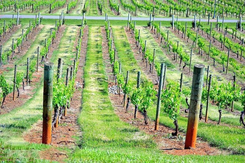 Шпалери для винограду: різновиди та особливості 1
