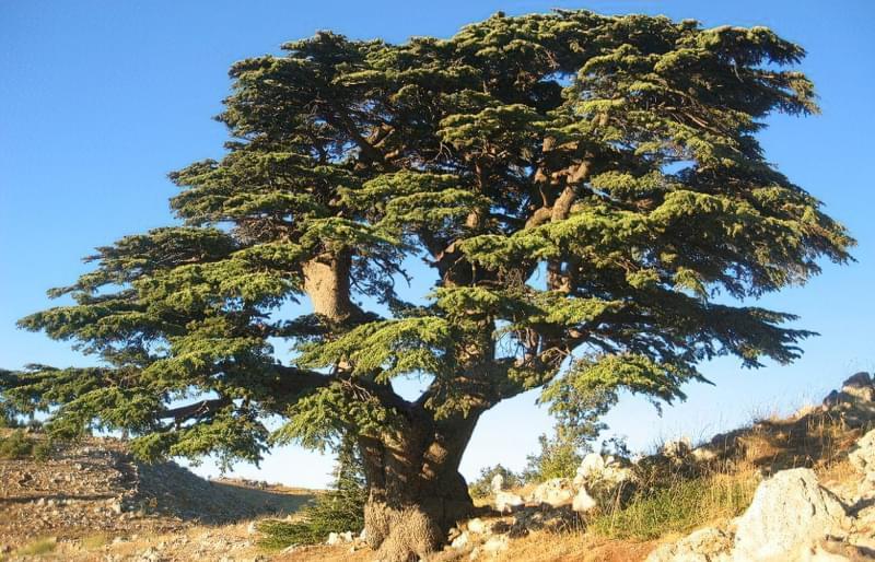 Тривалість життя кедра і особливості дерева 2