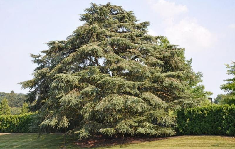 Тривалість життя кедра і особливості дерева 1