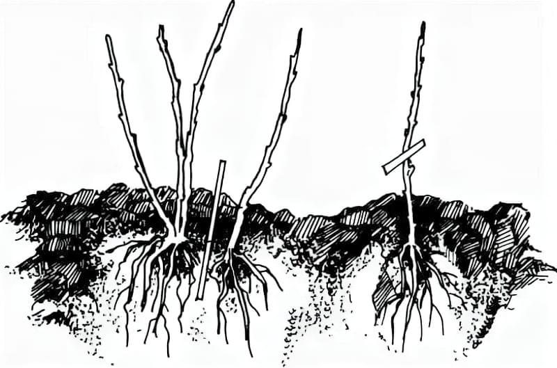 Як правильно розмножувати гортензію восени 3