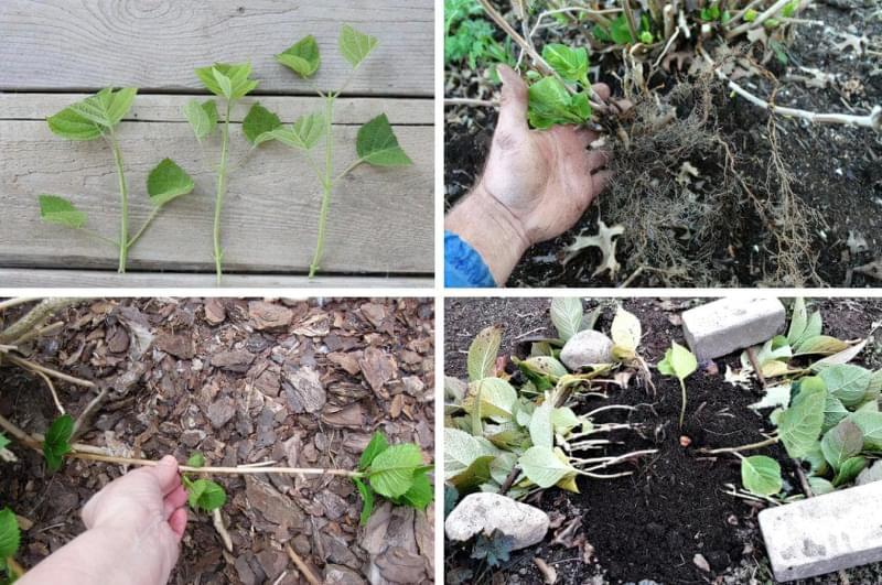 Як правильно розмножувати гортензію восени 1