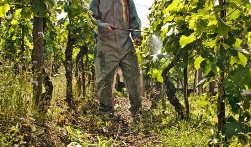 Як правильно застосовувати залізний купорос для винограду 2