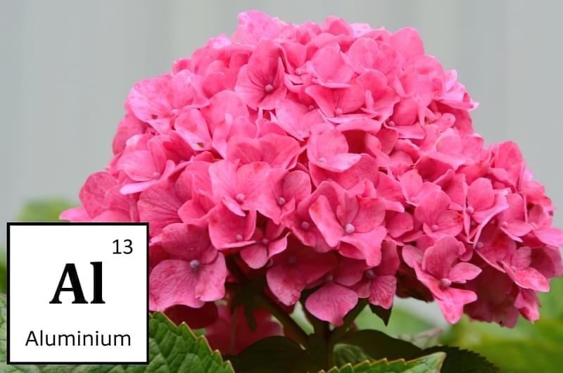 Гортензія рожева
