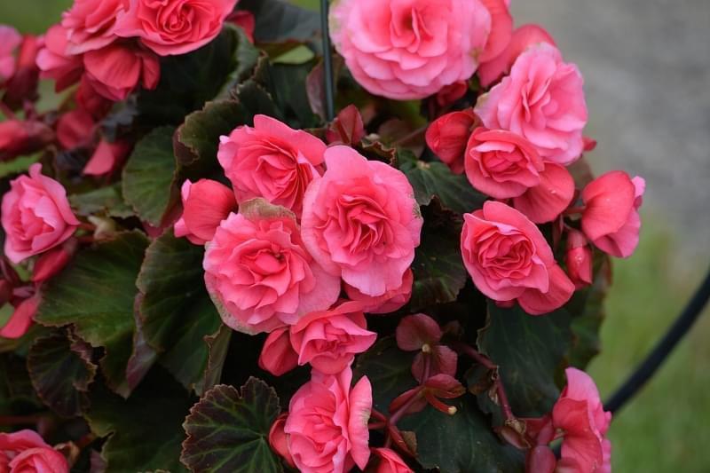 Безпечні домашні квіти для алергіків 1