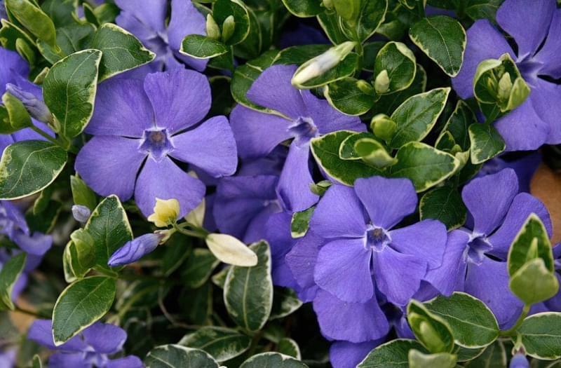Квітка барвінок - як виглядає, огляд та вирощування 2