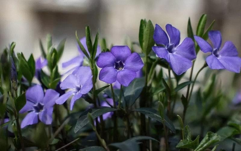 Квітка барвінок - як виглядає, огляд та вирощування 1